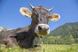 Leinwanddruck Bild - Kuh - Allgäu - Hörner - Glocke - Braunvieh