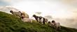 Quadro Eine Herde Schafe am Berg