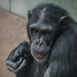 Portrait of funny Chimpanzee with a smugly smile