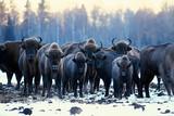 Aurochs bison in nature / winter season, bison in a snowy field, a large bull bufalo - 225303930