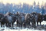 Aurochs bison in nature / winter season, bison in a snowy field, a large bull bufalo - 225303942