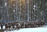 Aurochs bison in nature / winter season, bison in a snowy field, a large bull bufalo - 225303958