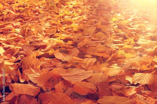 autumn leaves rays of sun background / sunny autumn day background, beautiful autumn leaves in sunlight - 225309347