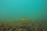 ecosystem underwater pond / landscape underwater photo diving in fresh water, green world algae and fish in river depth - 225310706