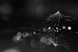 dandelion seeds black background concept lightness - 225310774
