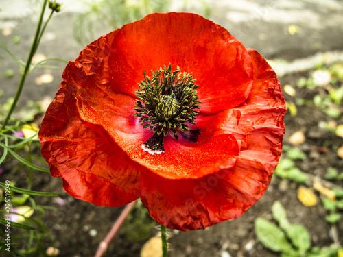 Poppy in garden. - 225319949