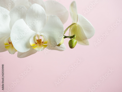 White Orchid flowers on colored background Pink Copy space