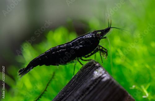 Black Neocaridina shrimp - 225373567