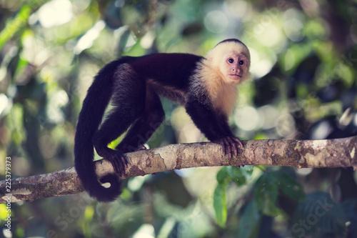 Fototapeta Balancing Capuchin Monkey