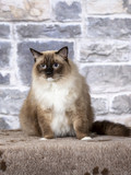 Ragdoll in a studio with a stone wall background. - 225399742
