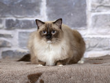 Ragdoll in a studio with a stone wall background. - 225399777