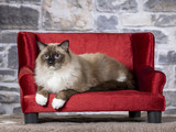 Ragdoll cat lying on a red sofa. Indoor image with stone background. Wallpaper. - 225401167