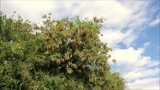 Dry seed pods on Acacia tree outside of Andalusian village of Alora - 225407726