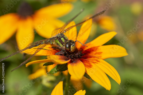 Dragonfly sitting on a yellow flower, macro. - 225409129