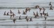 A flock of birds flying over schooners beach tofino
