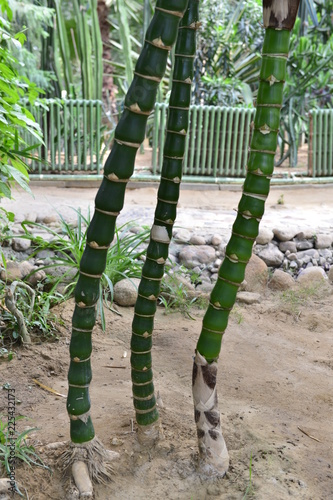 Tropical green bamboo