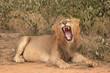 Lion. Wild male African Lion - 225449502
