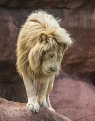 Lion Standing On Edge Looking Down Photo