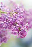 Blooming lilac flowers. Macro photo. - 225452908