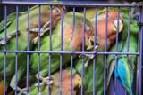 Sleeping Parrots in a Cage at Hong Kong Bird Market