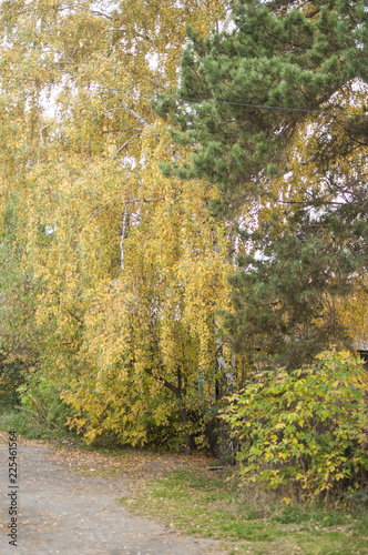 Autumn in the park: golden birch tree leaves in the sunlight - 225461564