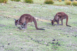 Couple of Kangaroos eating in open South Australia countryside - 225463732