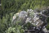 Rosemary crese among the rocks - 225472367