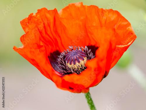 red poppy  - 225473153
