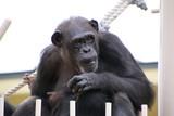 チンパンジー ポーズをとるチンパンジー チンパンジーの親 上半身のチンパンジー