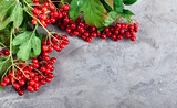 Branch viburnum with green leaves on concrete surface. Red berry - 225481793