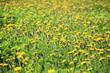 A dandelion meadow in spring season