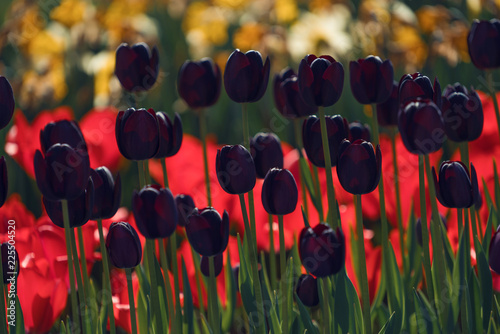 black tulips on a background of red tulips, tulip festival in Turkey, Istanbul