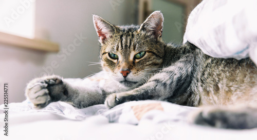 Portrait of tabby cat relaxing on bed  - 225514771