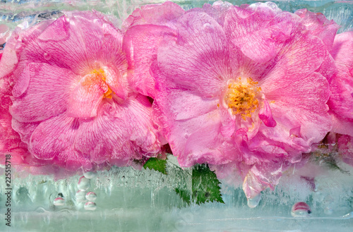 Background of pink rose   flower  with green leaves frozen in ice - 225515718