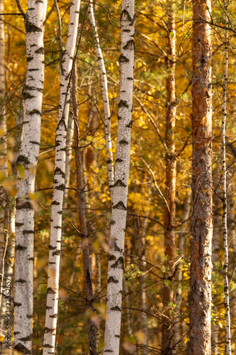 Birches in the forest in autumn as a background - 225525575