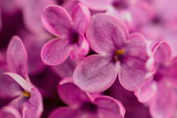 Flowers on a branch of lilac in nature - 225525968