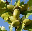 Leinwanddruck Bild - Eicheln, Stieleiche, Quercus, robur