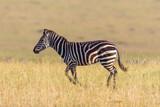 Zebra running on the savannah - 225534165