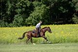 Freiheit. Reiterin galoppiert mit Westernpferd am Sonnenblumen Feld entlang