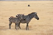 Young zebra with mother