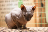 bald gray cat in the cage - 225545134