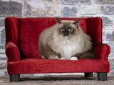 Ragdoll cat on a red sofa. - 225548797