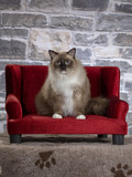 Ragdoll cat portrait. The cat is sitting on a red sofa. Stone wall as a background. - 225551740