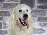 Polish Tatra sheepdog portrait. Image taken in a studio. - 225553196
