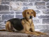 Russian hound dog. Image taken in a studio. - 225554911