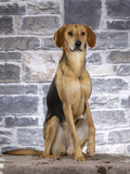 Russian hound dog. Image taken in a studio. - 225554922