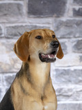Russian hound dog. Image taken in a studio. - 225554953