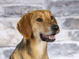 Russian hound dog. Image taken in a studio. - 225554980