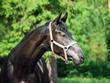 portrait of beautiful black young Trakehner stallion