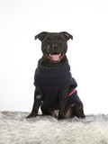 American staffordshire terrier portrait. Image taken in a studio, the dog is wearing a sweater. - 225556332